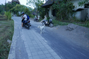 バリ、動物、犬
