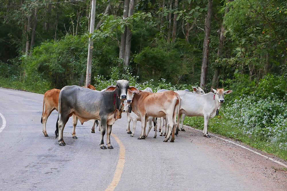 Rabeang Pasak Treehouse Resortの帰りに出会った牛さん達